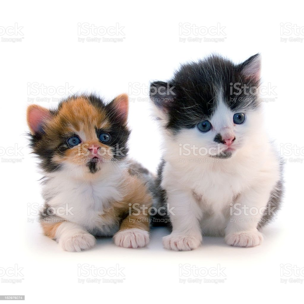 Little kittens royalty-free stock photo