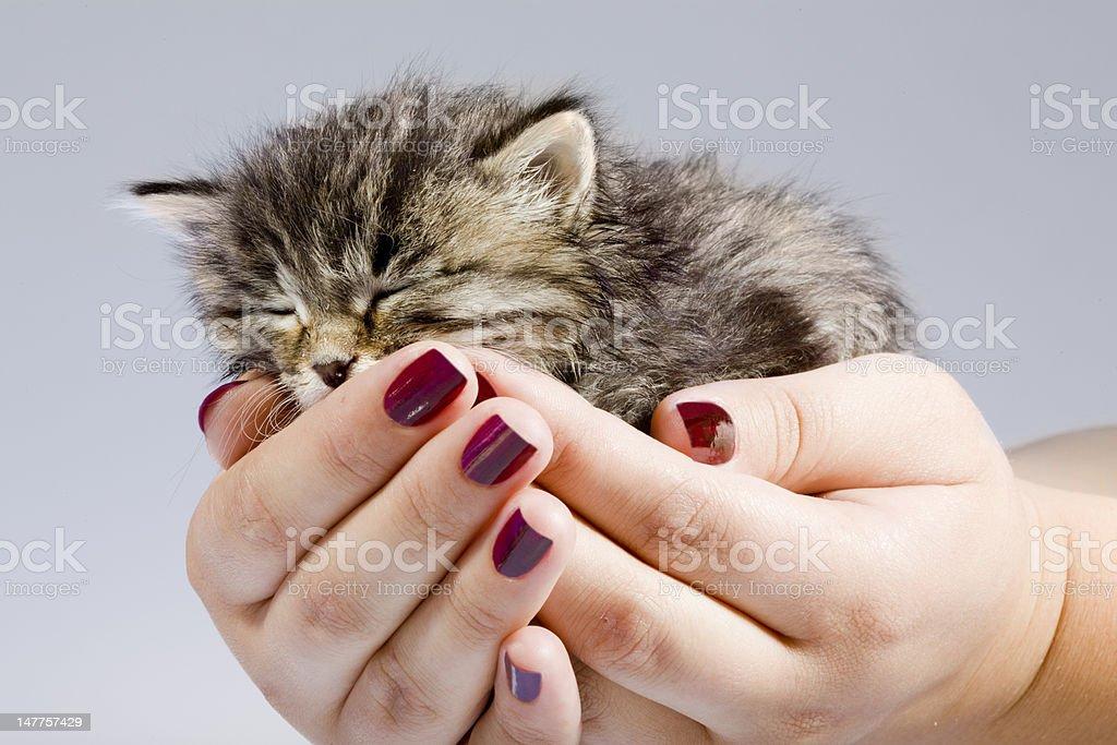 Cute helpless two-weeks old kitty sleeping in the female hands. Adobe...