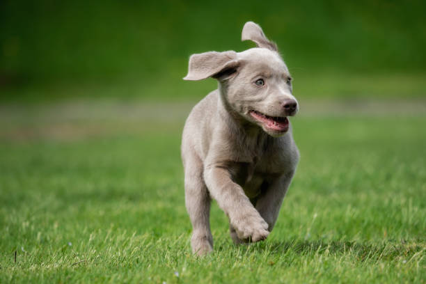A little labrador puppy is playing outside stock photo