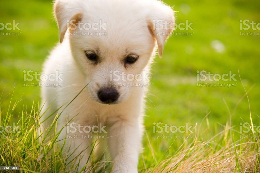 little Labrador Retriever royalty-free stock photo