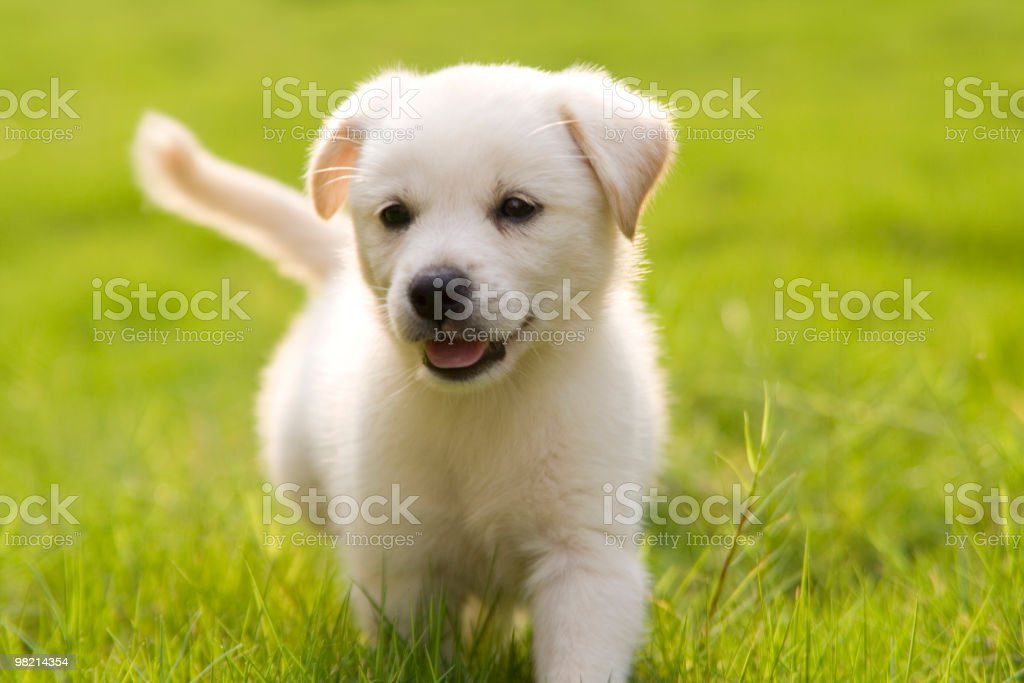 little Labrador Retriever stock photo
