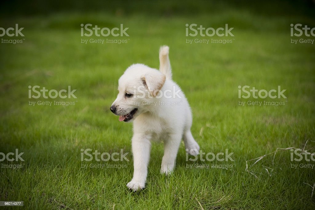 little Labrador Retriever royalty-free stock photo