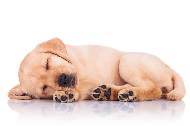 Little labrador retriever puppy dog showing its paws while sleep picture id494313629?b=1&k=6&m=494313629&s=612x612&w=0&h=caltlynasqhmvyx15abm jmuwy0jnpmitdvar0x8c g=