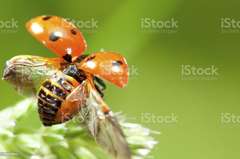 Little ladybird stock photo