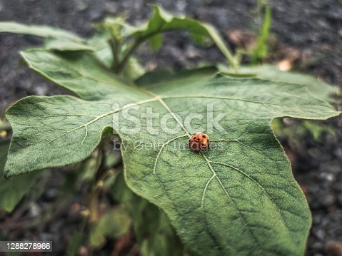 Coccinellidae bug perching on big green leaves