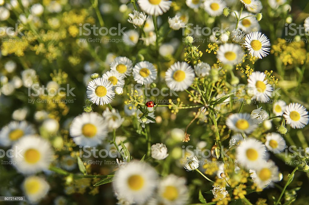 Little ladybug among the flowers and herbs stock photo
