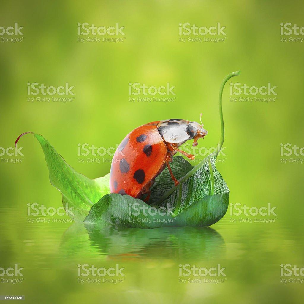 Little ladybug floating on the leaf. stock photo