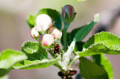 Little ladybug scrambles on a leaf of a flower. Appletree and nature. Summer backgrounds