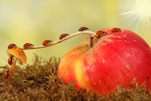 closeup many little ladybugs moves on a branch from fungus on Apple . Animal humor. the concept of movement or migration