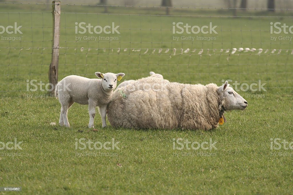 Little lamb and mother sheep royalty-free stock photo