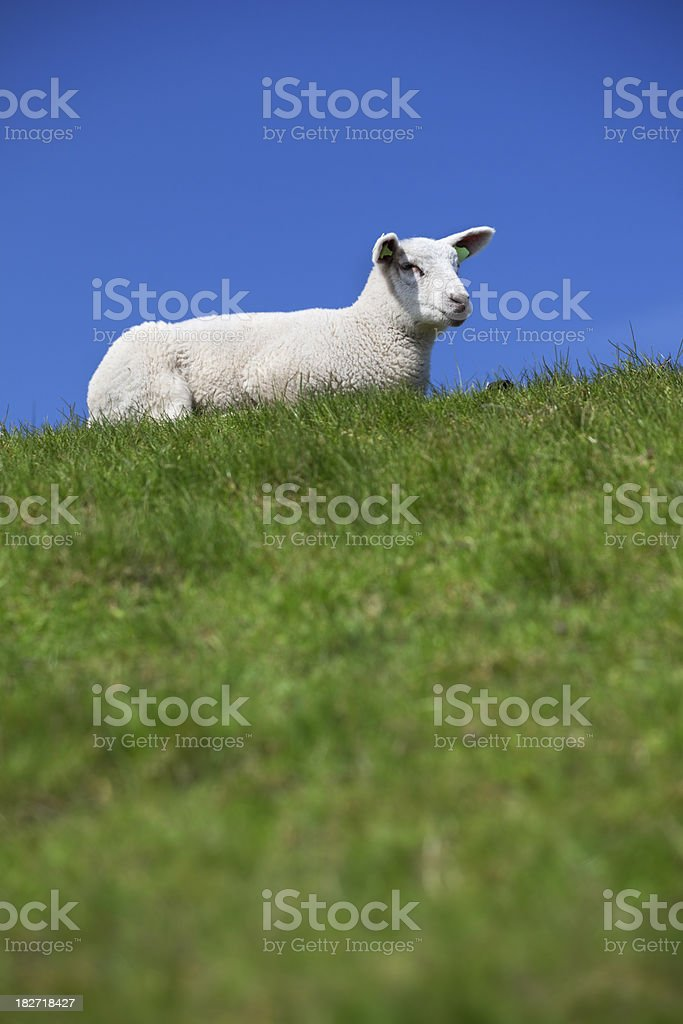 Little lamb on a grassy hill on a sunny day royalty-free stock photo