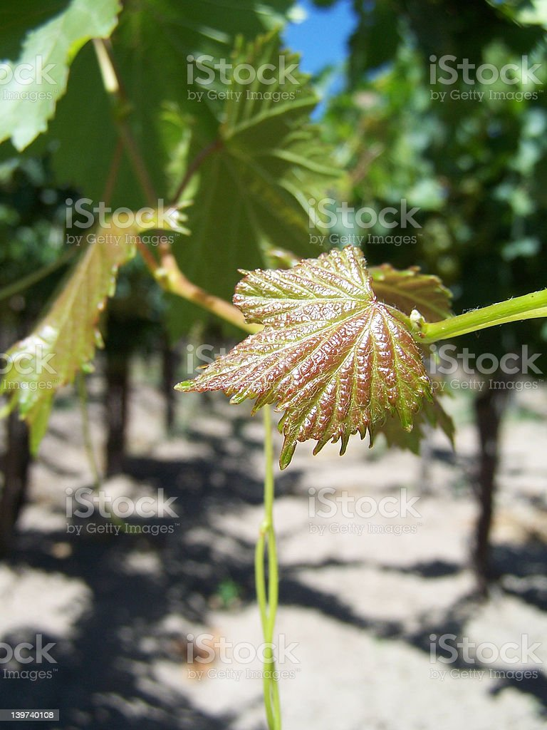 little leaf of grape plant royalty-free stock photo