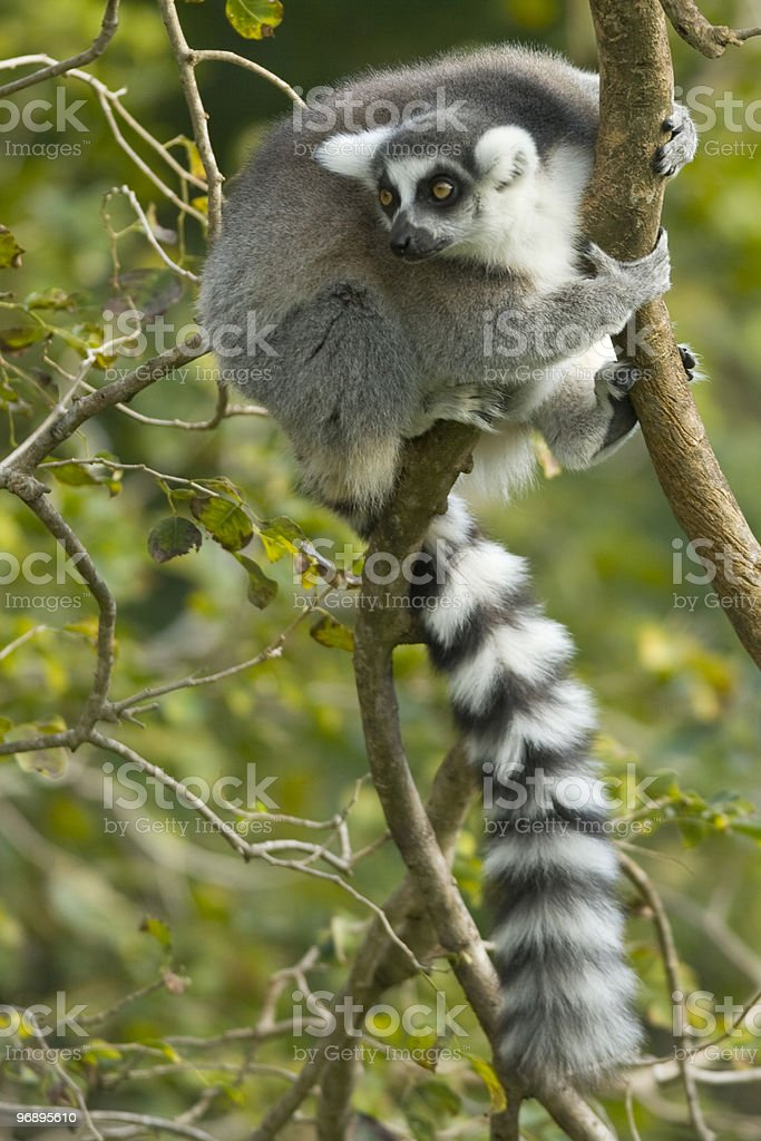 Little Lemur royalty-free stock photo