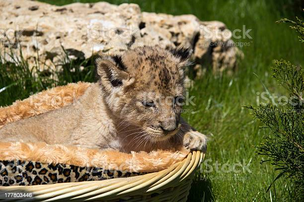 Little lioness in the basket picture id177803446?b=1&k=6&m=177803446&s=612x612&h=js12mgeklz4moroopjklf4tpos4legxkgbstegljhlk=
