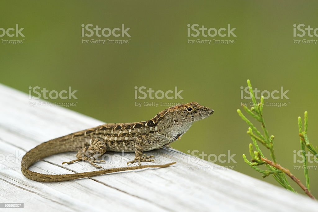 Little lizard in Everglades royalty-free stock photo