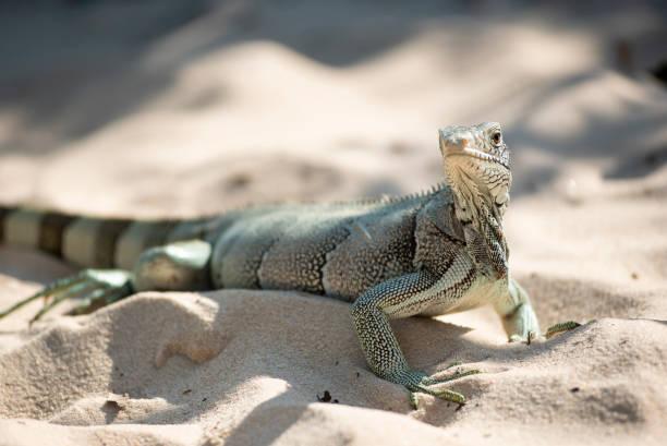 Little lizard on beach sand stock photo