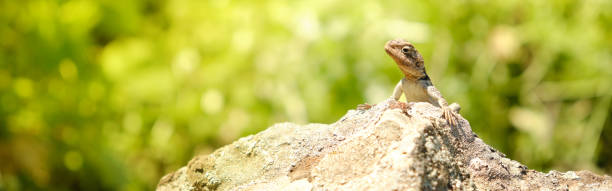 Little lizard sitting on the rock under the sun web header picture id1226193892?b=1&k=6&m=1226193892&s=612x612&w=0&h=bxdyegs8oetostc8oi8aepfxv4gmhofemeei97ywcgk=