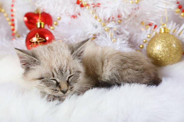 Little lovely kitten fell asleep under the christmas tree picture id1079725740?b=1&k=6&m=1079725740&s=612x612&w=0&h=phtkndqhd6 3gmios7pmybknfkq2tl2f5tfk1j9xu5i=