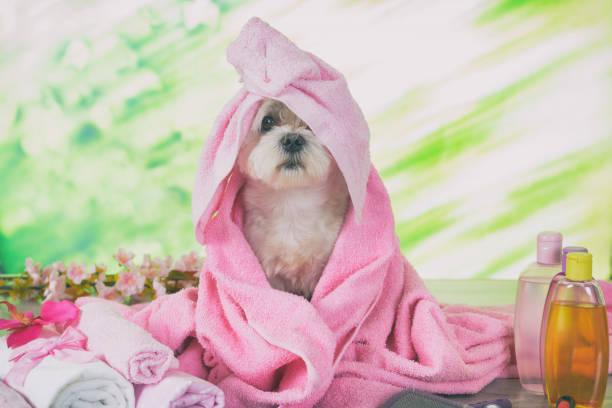 Kleiner maltesischer Hund im Kurort – Foto