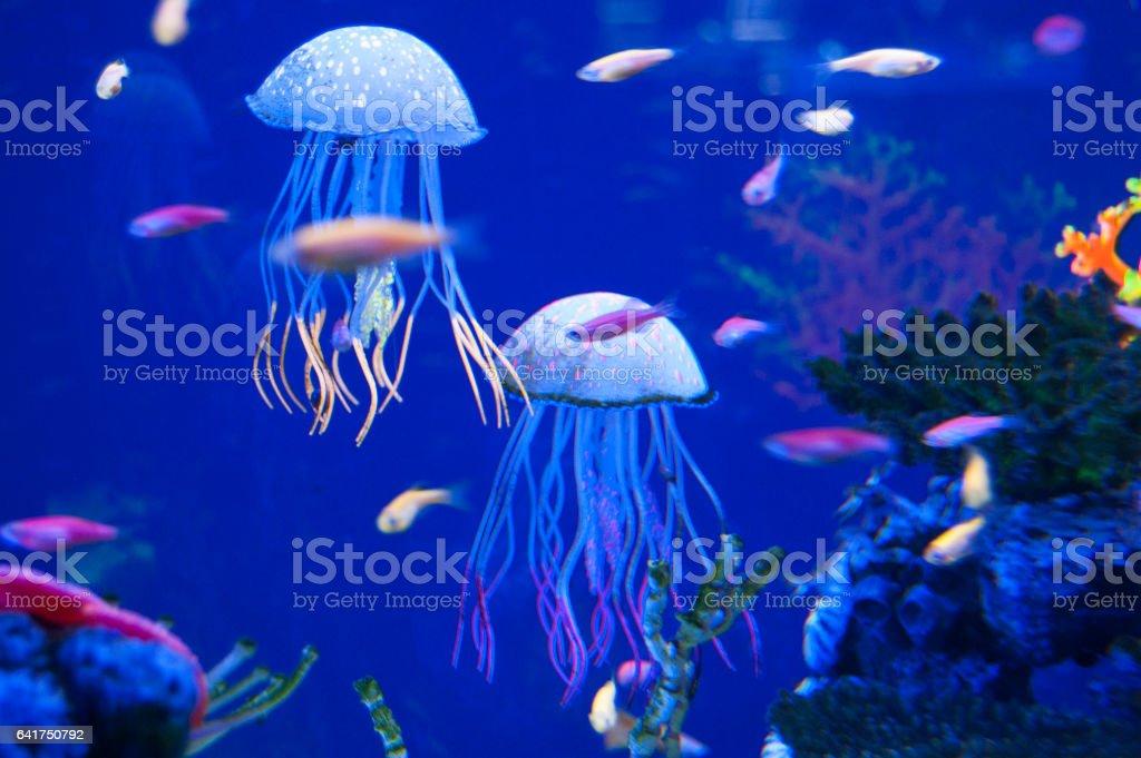 Little medusas in aquarium. Ocean or sea inhabitants, fishes, water plants. stock photo