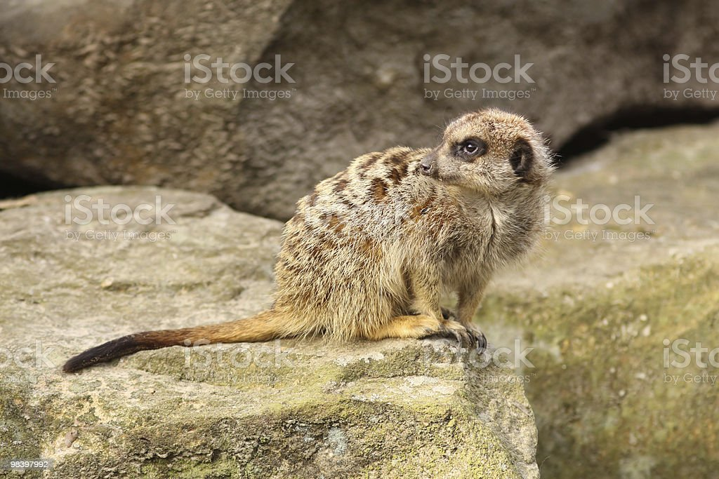 Little meerkat looking to the left royalty-free stock photo
