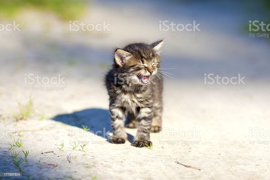 Little meowing kitten royalty-free stock photo