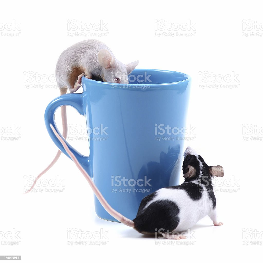 little mice stock photo