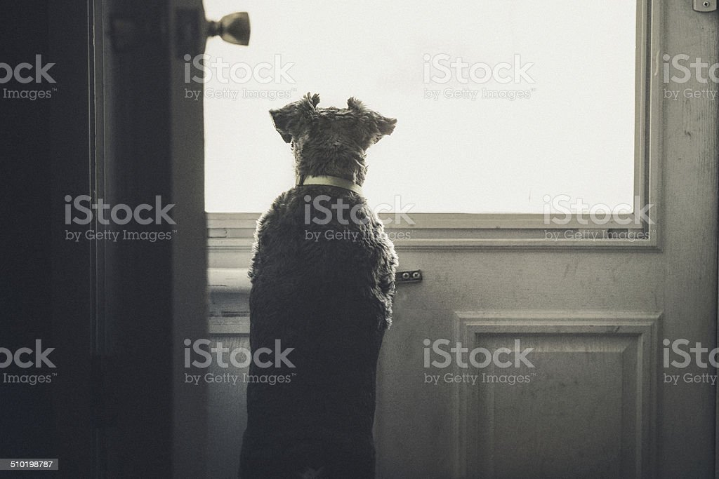Little Mini Schnauzer Dog Looking Outside Through Door Window stock photo