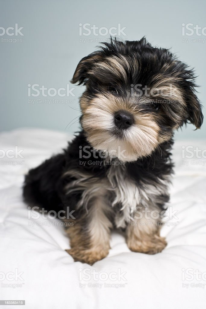 Little Mixed Breed Puppy royalty-free stock photo
