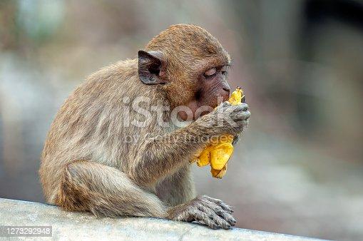 little monkey eats on a banana in thailand  - huahin