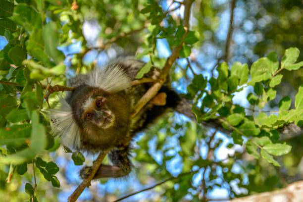 Little Monkey from South America fauna (Callithrix penicillata) on a tree branch looking at the camera in Limoeiro,Pernambuco, Brazil LIMOEIRO,PERNAMBUCO,BRAZIL- MAY 11, 2015: Mico Sagui Black-tufted Marmoset Callithrix penicillata, also known as the Black-pencilled Marmoset on a tree branch looking at the camera in Limoeiro,Pernambuco, Brazil. marmoset stock pictures, royalty-free photos & images