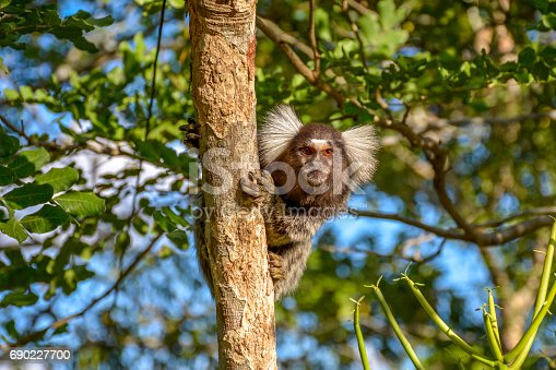 LIMOEIRO,PERNAMBUCO,BRAZIL- MAY 11, 2015: Mico Sagui Black-tufted Marmoset Callithrix penicillata, also known as the Black-pencilled Marmoset on a tree branch looking at the camera in Limoeiro,Pernambuco, Brazil.