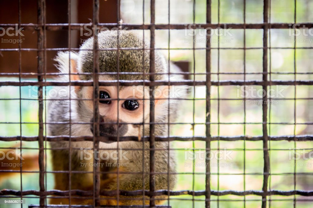 Little monkey in the cage with lonely facial expression,  Stop Animal Cruelty