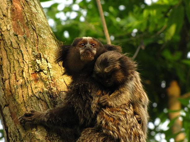 Little monkey The common marmoset (Callithrix jacchus) is a brazilian monkey. common marmoset stock pictures, royalty-free photos & images