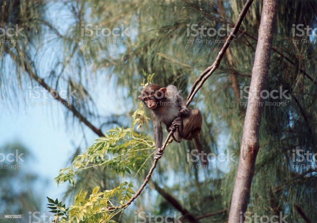 little monkey royalty-free stock photo