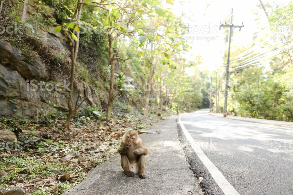 Little monkey sitting on road in Thailand royalty-free stock photo