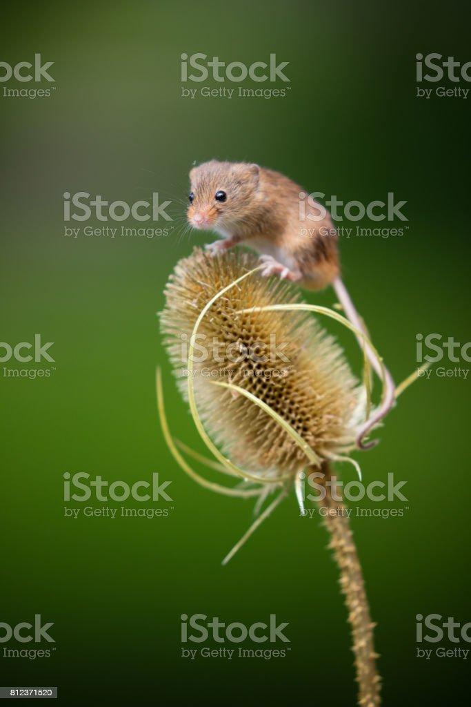 Little ratón - foto de stock