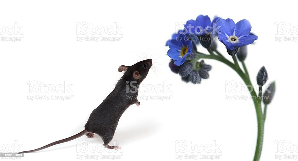 little mouse smelling flowers stock photo