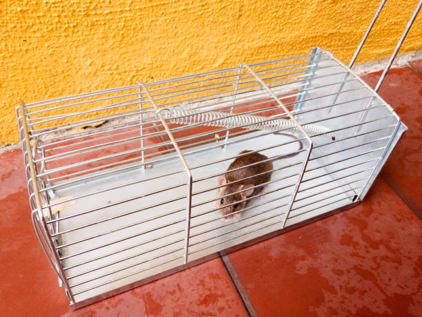 little mouse trapped in a cage with a bit of cheese stock photo