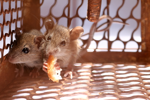 istock A little mouse with bread in the rat trap 848020544