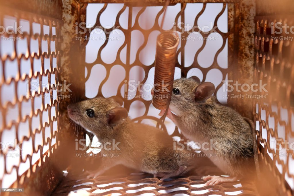 A Little Mouse With Bread In The Rat Trap Stock Photo - Download