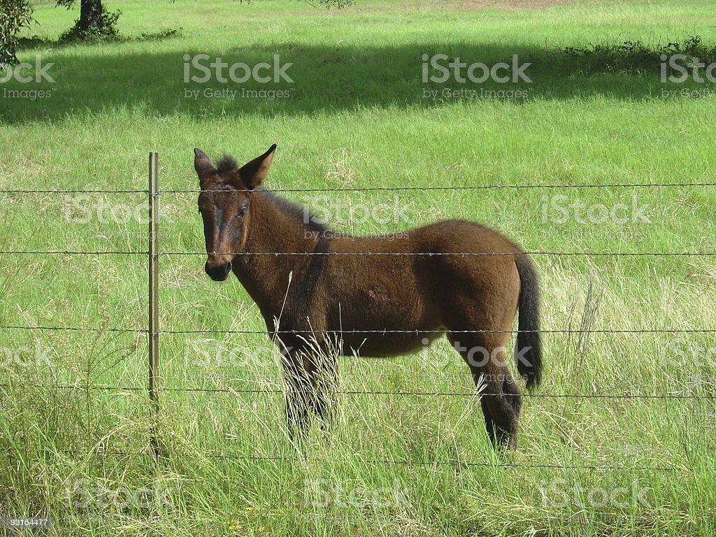 Little Mule Colt royalty-free stock photo