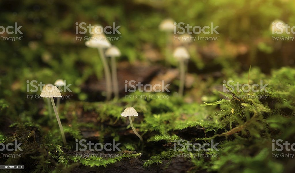 Little mushroom family in the forest royalty-free stock photo