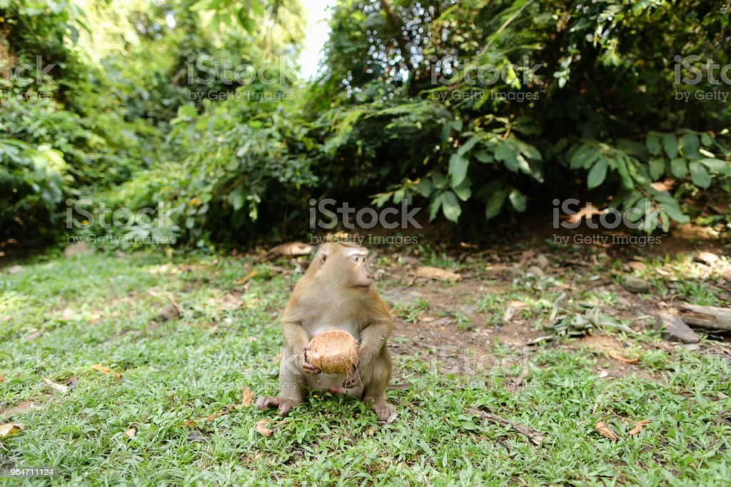 Little nice monkey sitting on grass and eating coconut royalty-free stock photo