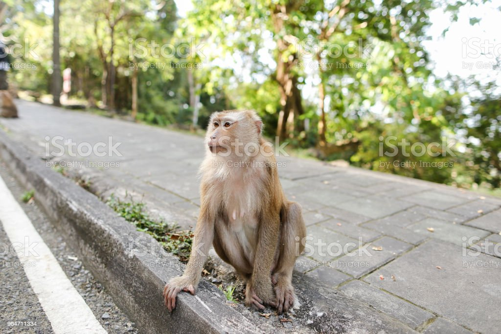 Little nice monkey sitting on road in India royalty-free stock photo
