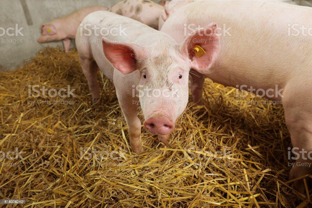 Ein wenig bedeckt neugierigen Ferkel in einem Strohhalm Schweinestall. – Foto