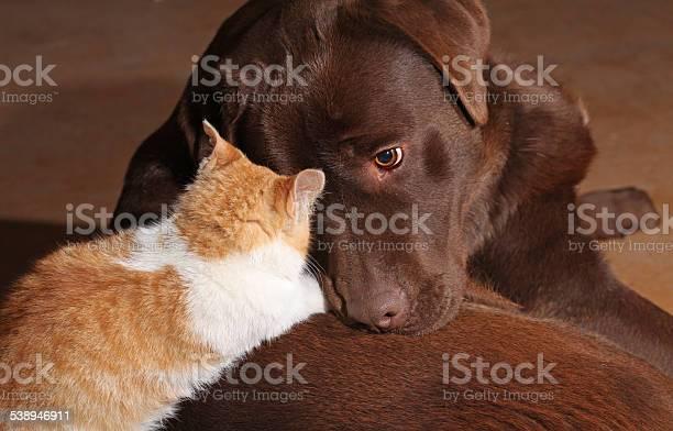 Little orange cat with a brown labrador picture id538946911?b=1&k=6&m=538946911&s=612x612&h=xu6m8cvn9 sxn9ng4kwjcmbizmp0lwqkki769sagla4=