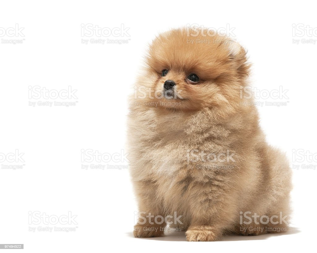 Little orange puppy royalty-free stock photo