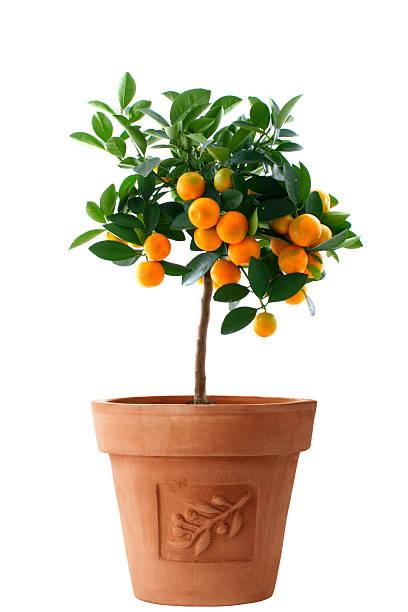 little orange tree isolated - fruitboom stockfoto's en -beelden