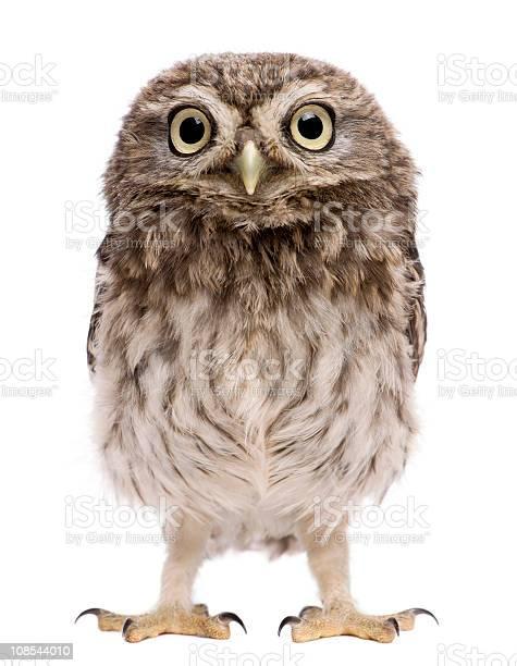 Little owl 50 days old athene noctua standing picture id108544010?b=1&k=6&m=108544010&s=612x612&h=fljqqgung 6ok8elfff5adk67jjcx3yzqd31kiicpay=